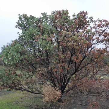 Big Berry Manzanita. Part of the Manzanita was burned in the Thomas Fire, but there is plenty of green new growth